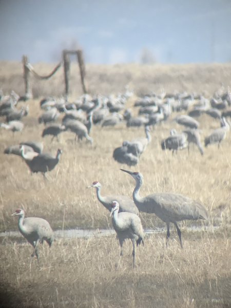 Who needs a DSLR when you've got an iPhone and a telescope. The cranes concur.