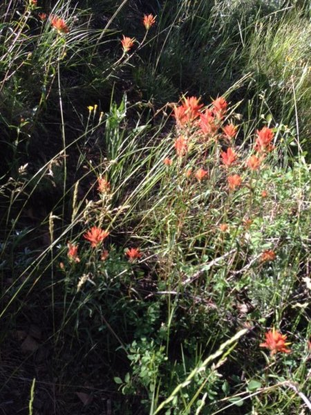Enjoy a bounty of indian paintbrush along the Pioneer Cabin Trail.