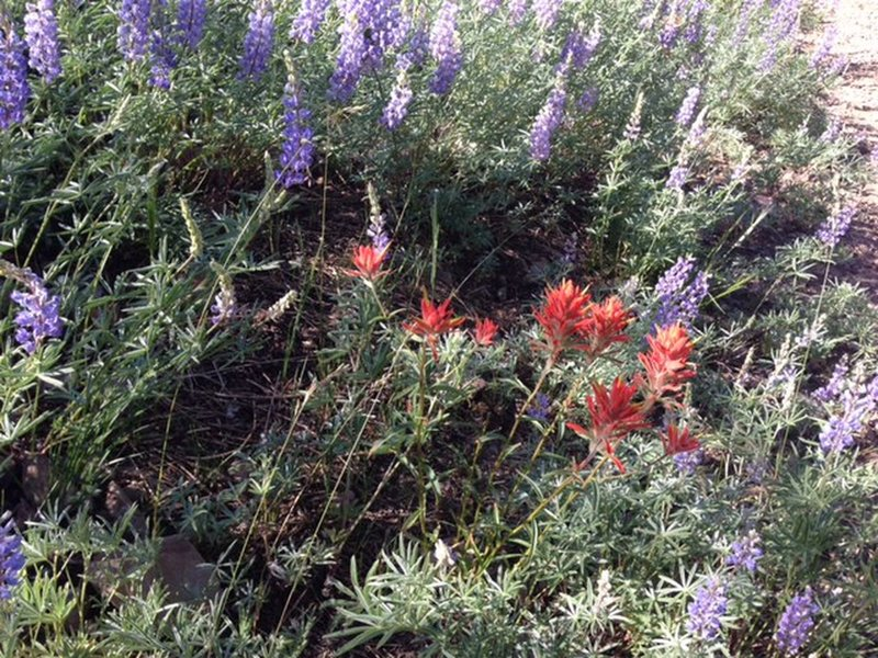 Lupine and indian paintbrush pepper the meadows along the Pioneer Cabin Trail.