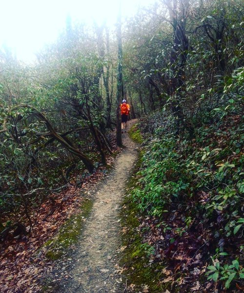 Much of the singletrack travels through mountain laurel tunnels.