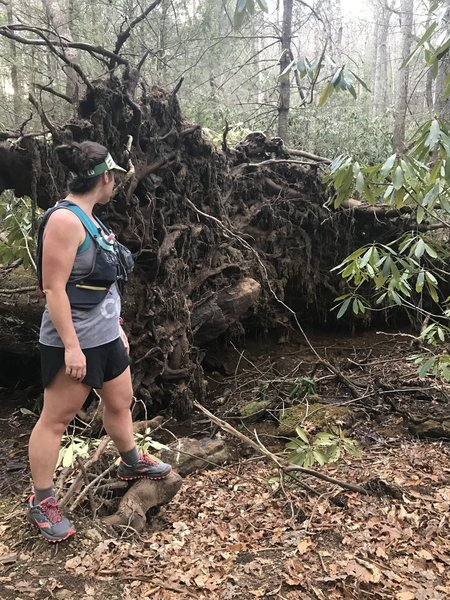 The Bad Fork Trail travels on a beautiful forested tread alongside Bad Fork Creek. Be sure to check out this fallen tree while on trail!