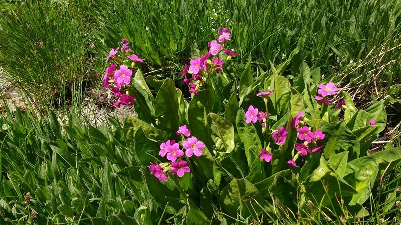 Parry's Primrose (probably) grows near the top of Lone Peak.