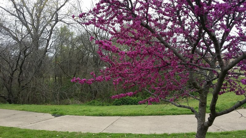 Lovely redbuds provide great seasonal color to the greenbelt.
