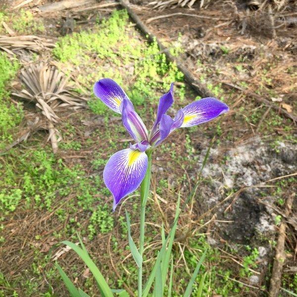 Blue flag flowers grow along the trail.