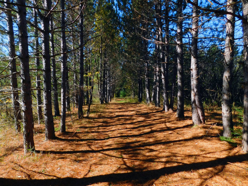 Rows of pine trees cast shadows on the needle-covered forest floor, connecting one tree to its pair across the trail.