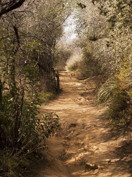 The Temescal Canyon Trail heads through a foliage tunnel.