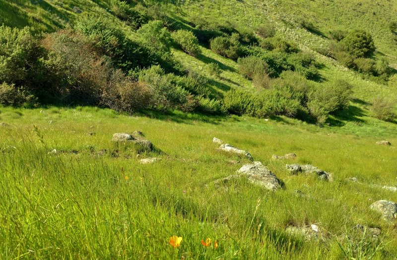 High on the Bernal Hill Trail, look down into the nearby stream valley for views of California poppies.