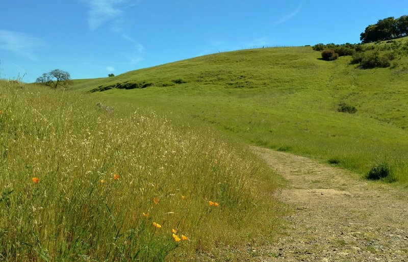 Grass hills and California poppies adorn the Joice Trail.