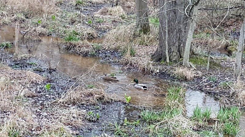 Many ducks can often be found along the Paint Branch Trail.