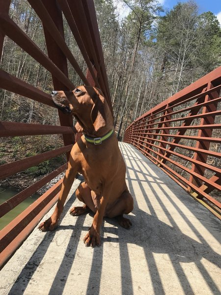 A hound dog enjoys the view from a bridge at the Coytee Trailhead.