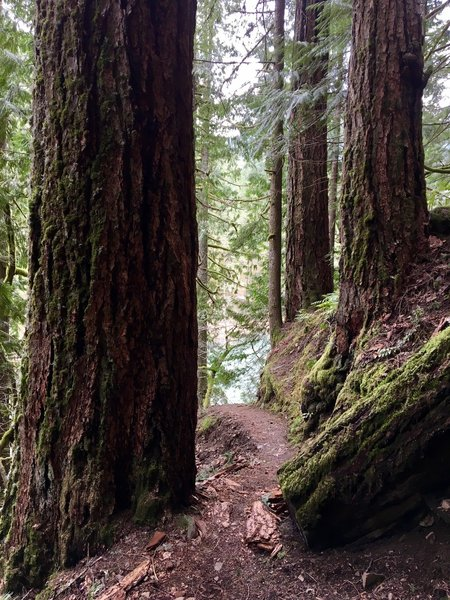 As they continue to grow, these Douglas firs will narrow this passage along the Clackamas River Trail.