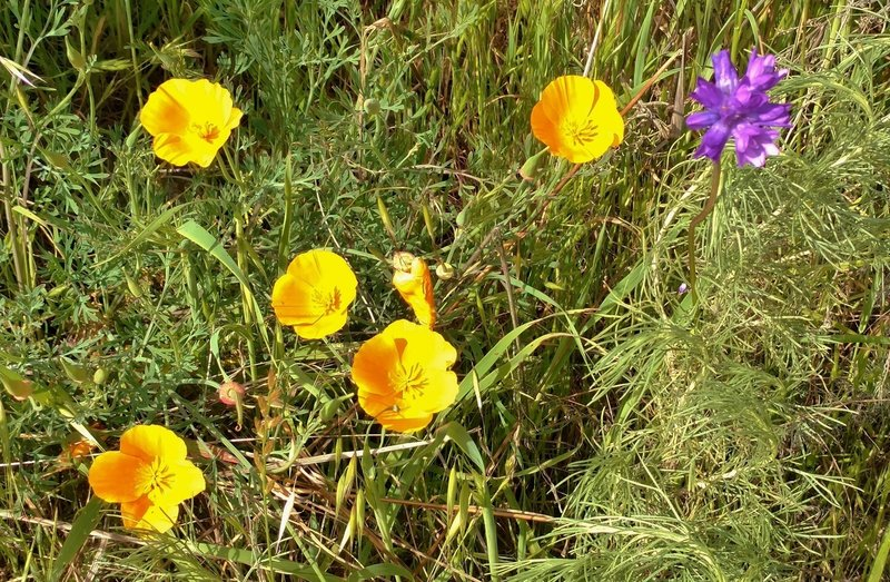 Spring wildflowers make for a trailside treat along the Hidden Springs Trail. Shown here are California poppies and an unidentified purple flower. If you know what it is, leave a comment!