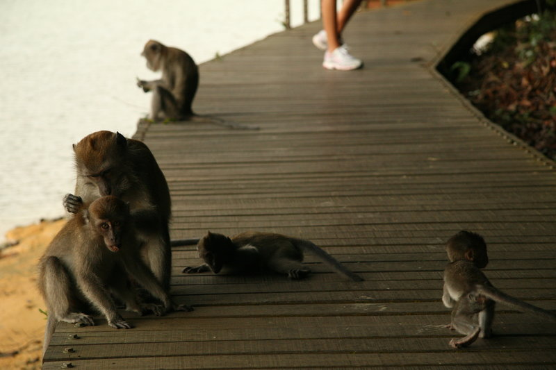 Some resident monkeys enjoy the relaxing and grooming on the boardwalks of the Chemperai Trail.