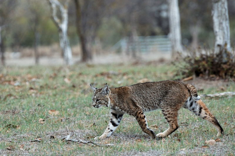 A bobcat waltzes along the Calero Creek Trail.