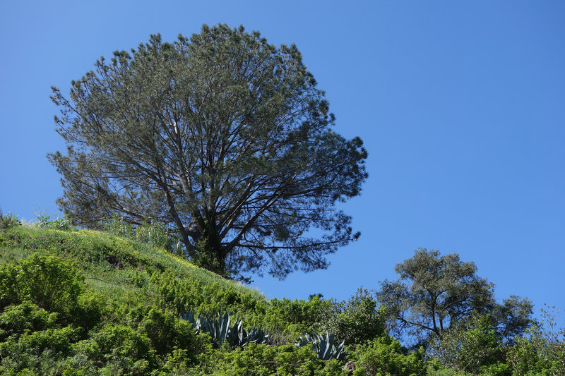 A pine tree standing over the west rim of Biltmore trail