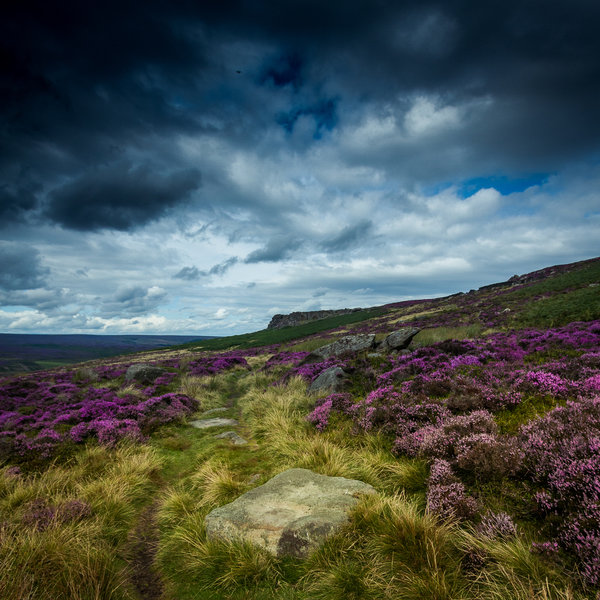 The heather is a real treat when blooming on the moors.