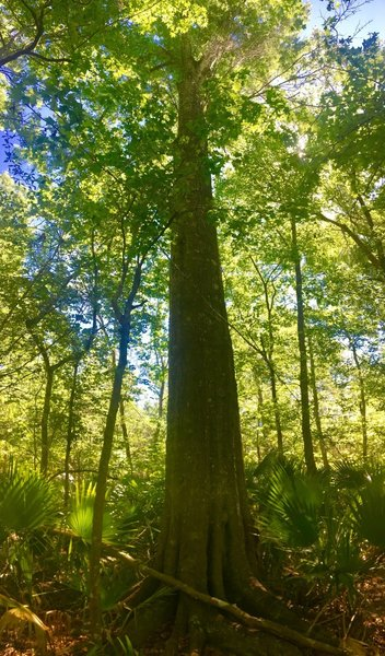 A massive tree grows in the swamp along the Old Barataria Trail.