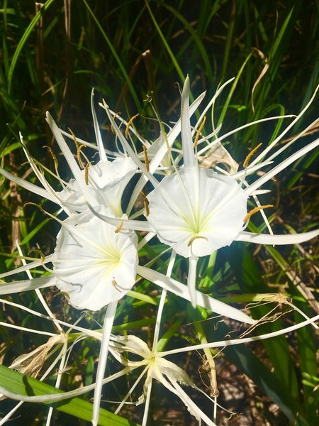 Spider lilies grow on the forest floor along the Palmetto Trail.