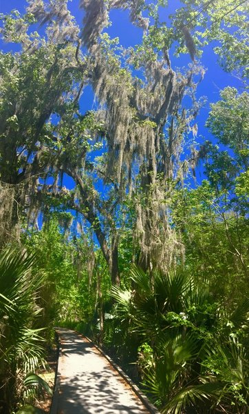 Spanish Moss covers the branches of this tall tree along the Palmetto Trail.