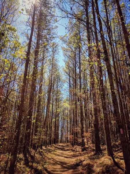 Towering trees greet you along the Purple Trail.