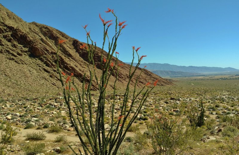 Numerous ocotillos bloom along the Palm Canyon Alternate Trail.