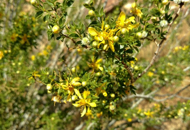 Flowers bloom on a creosote bush along the Palm Canyon Alternate Trail.