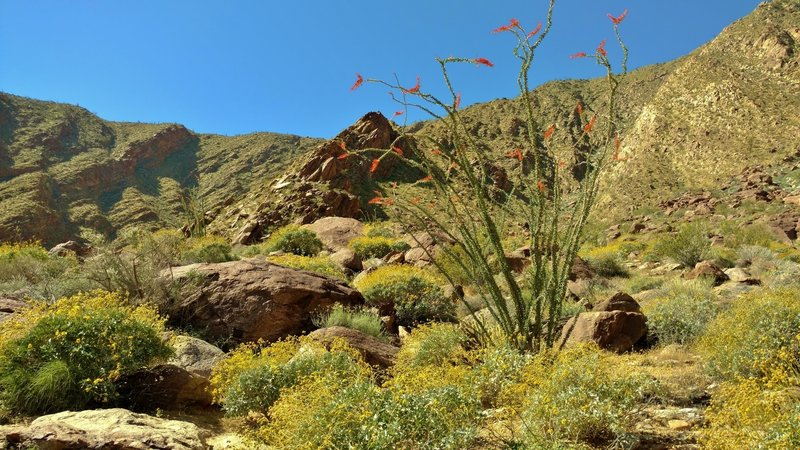 Ocotillo (tall with orange-flowered tips) and brittlebush (yellow bushes) bloom along the Palm Canyon Alternate Trail in the Sonoran/Colorado Desert.