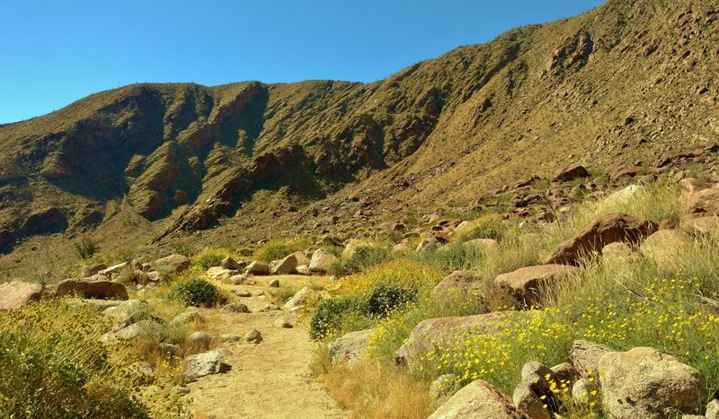 Spring greenery brings color to the Sonoran/Colorado Desert. Yellow poppies grow to the right of the trail here, and yellow brittlebush everywhere else.