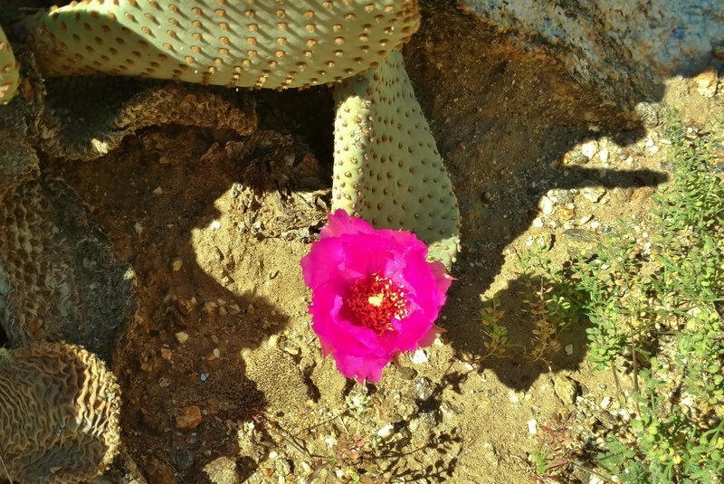 A beavertail cactus blooms along the Palm Canyon Alternate Trail.