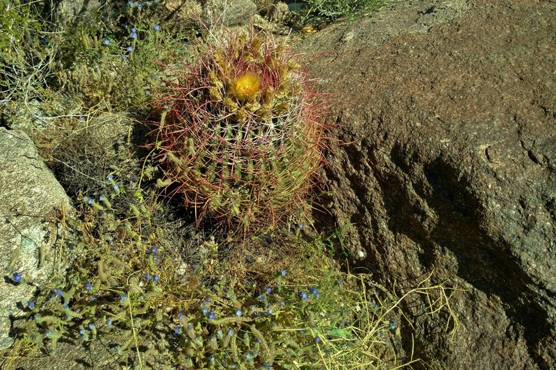 A barrel cactus blooms on the Palm Canyon Alternate Trail.