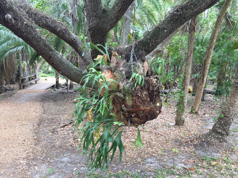 Staghorn Fern grow along the trail.