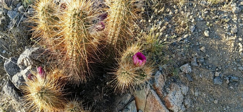 Eastwing Mountain Trail is rife with interesting flora including cholla and plenty of cacti!