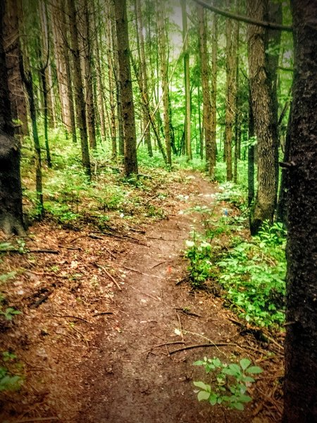 The trail winds through another pine area on the loop.