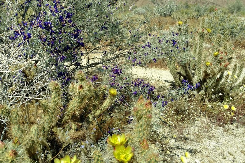 A springtime indigo bush grows alongside a cholla cactus on the Visitor Center Interpretive Trail.