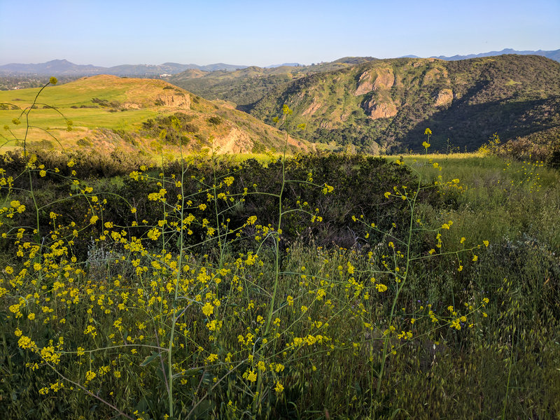 Mustard blooms with Wildwood Canyon in the background.