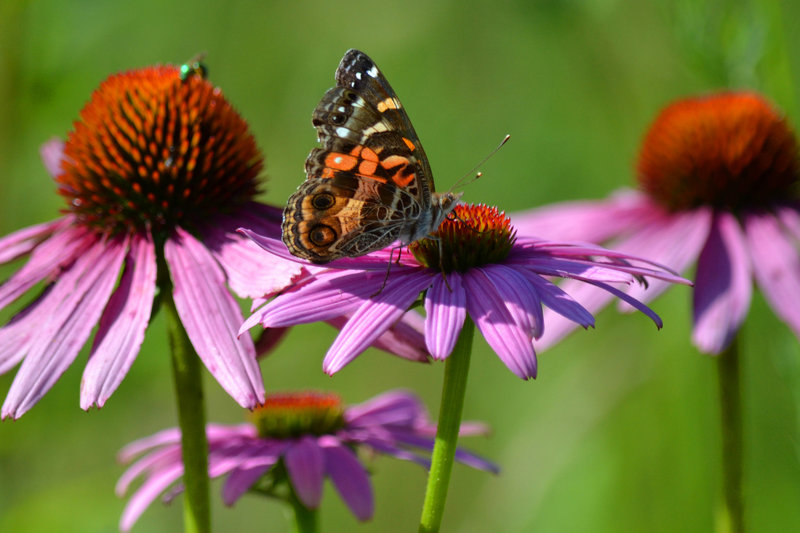 A butterfly searches for nectar in a purple coneflower.