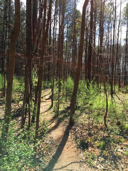 The Lowlands Loop cuts through thin pines in this section.