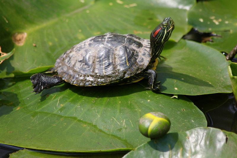 A turtle enjoys the sunshine along the Inner Loop.