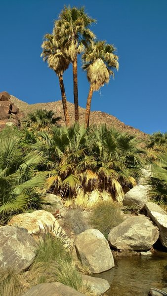 A towering California fan palm grows near the Palm Canyon oasis.