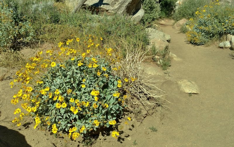 Brittlebush greets the sun in full bloom along the Palm Canyon Trail in early April.