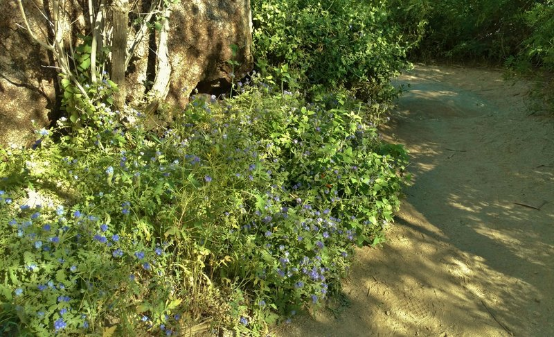 Common phacelia (phacelia distans) blooms along the Palm Canyon Trail.