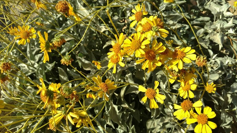 Brittlebush flowers grow along the Palm Canyon Trail.
