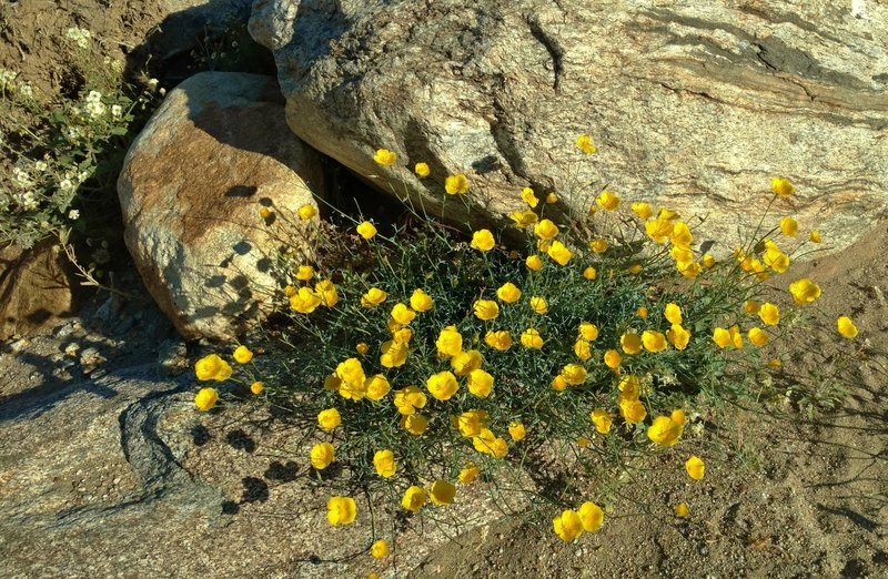 Parish's poppies grow along the Palm Canyon Trail in early April.