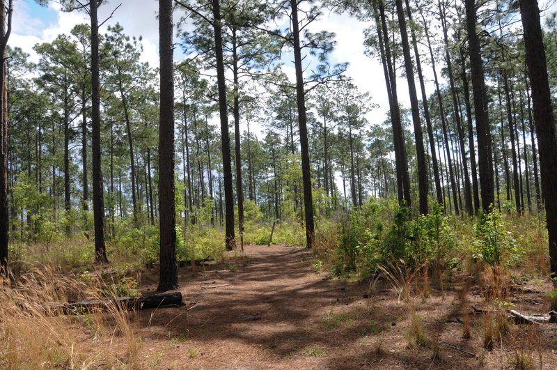 Sandhill Loop is much dryer and more open than other parts of Big Thicket.