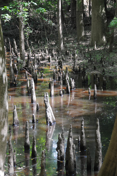 There are lots of opportunities to see these bayou root things in Big Thicket.