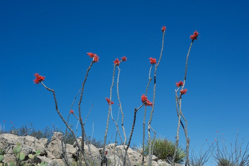 Flowering cacti can be seen on the side of the trail, especially as it begins to drop down to the campground.