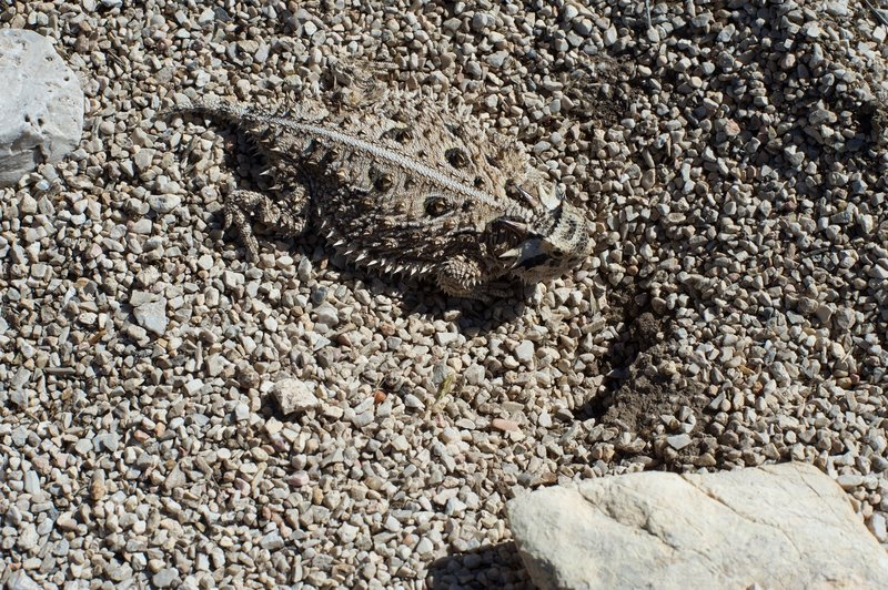 A texas horned lizard, camouflaged against the desert rocks, sits along the side of the trail. Be careful where you step, as lizards and snakes can be found throughout the day.