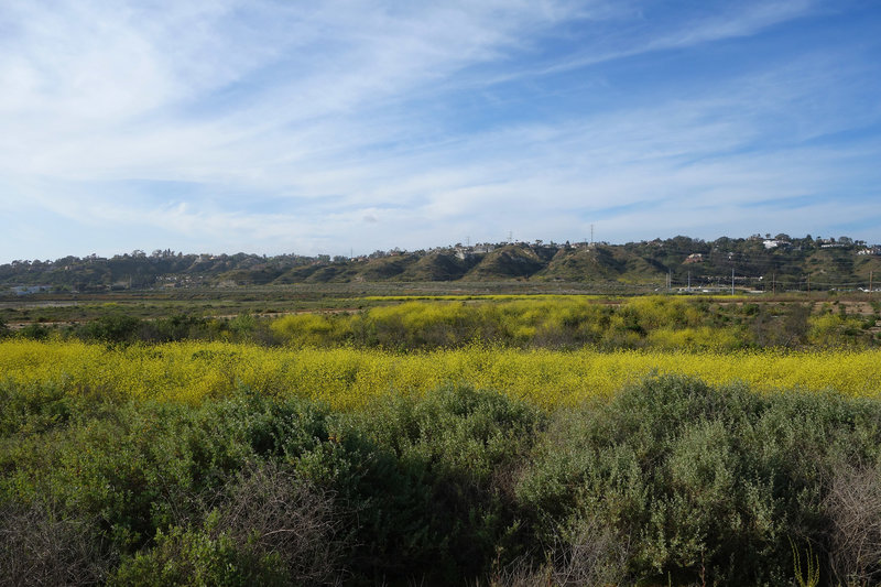 Mustard blooms at San Dieguito Lagoon.
