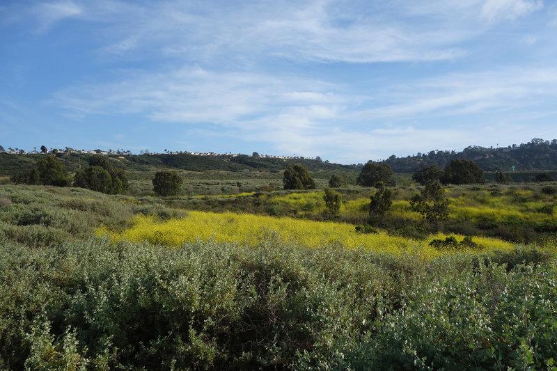 Mustard blooms near San Dieguito Lagoon.