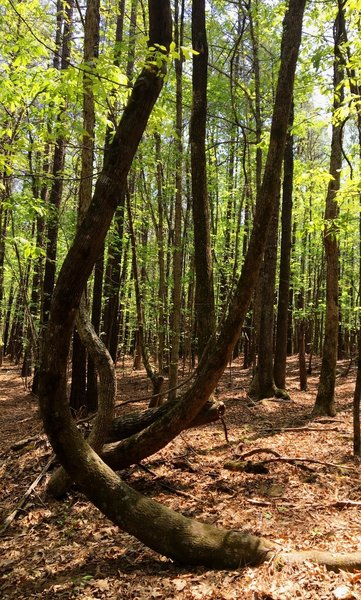 A pair of zig-zag trees grows in Carolina North Forest.